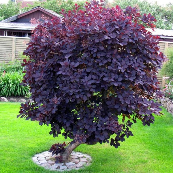 1 cotinus coggygria 'royal purple'
