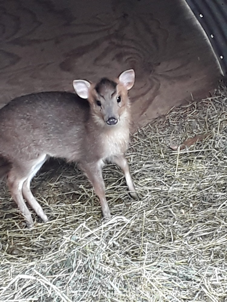 Muntjac Deer and other exotic animals for sale.