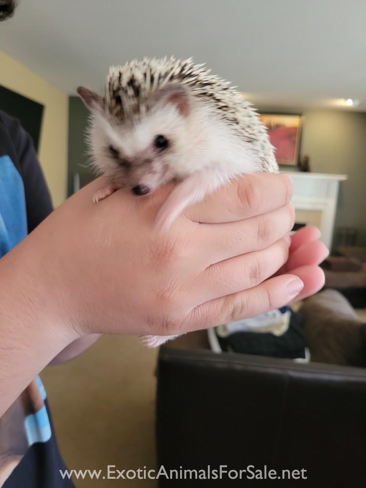 Hedgehog For Sale Ct : hedgehog, Hedgehogs