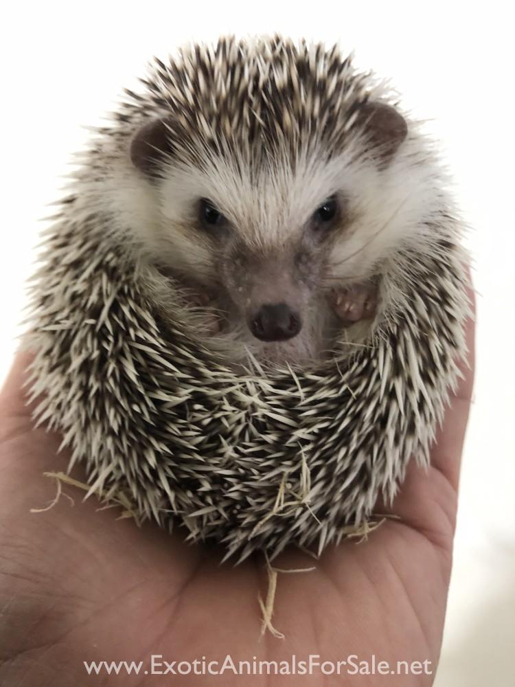 Hedgehog For Sale Ct : hedgehog, Hedgehog