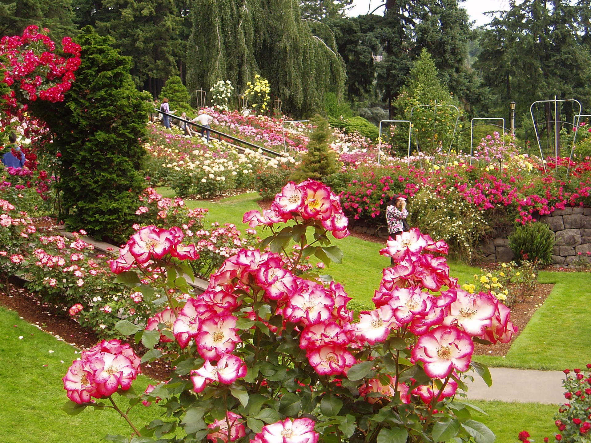 Portland images Portland Rose Garden HD wallpaper and