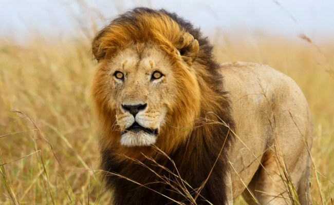 Saving Lions By Appointing Masai Warriors As Their Protectors