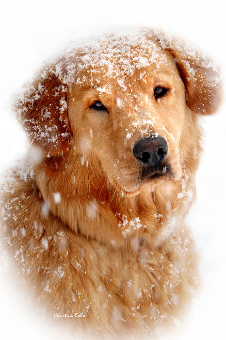 Frosty Mug Golden Retriever Art Prints for Sale