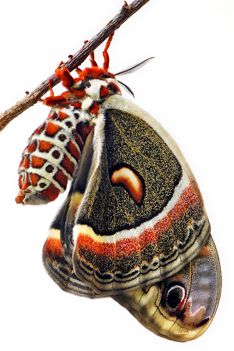 Lepidoptera - Cecropia Moth Art Prints for Sale