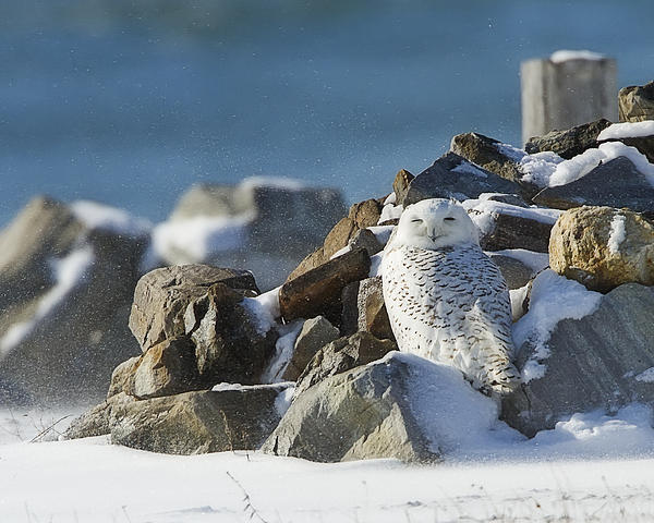 Snowy Owl on a Rock Pile by John Vose