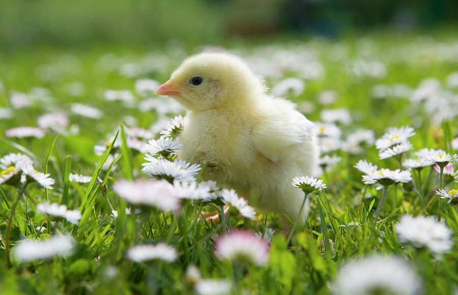 austria baby chicken in
