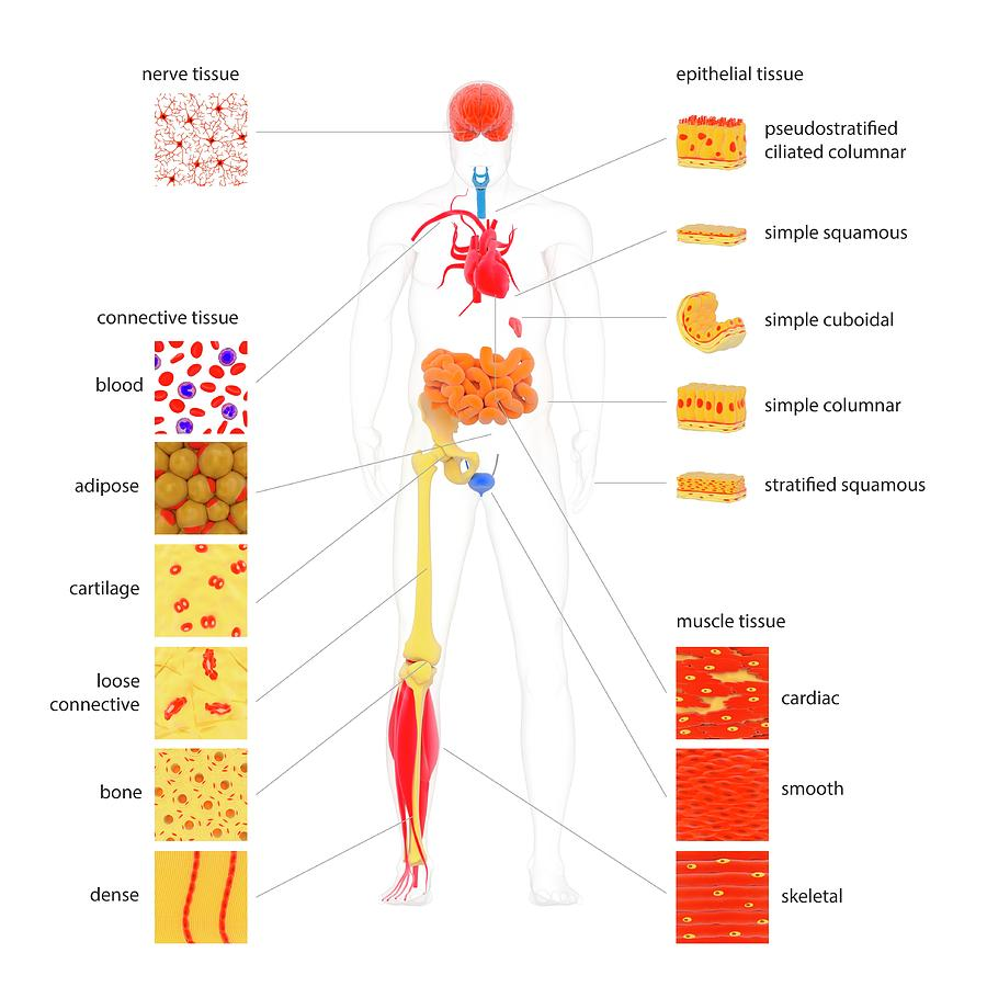 hight resolution of human body tissue types