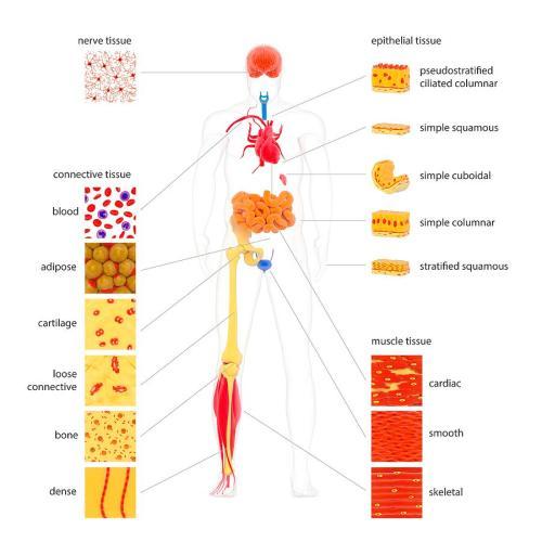 small resolution of human body tissue types