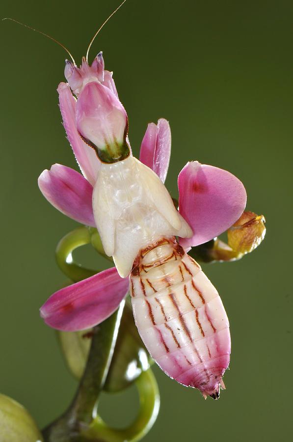 Orchid Mantis Lifespan : orchid, mantis, lifespan, Orchid, Mantis
