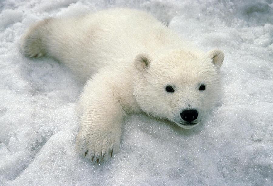 Cute Drawing Polar Bear Wallpaper Android Keep Your Cool With These