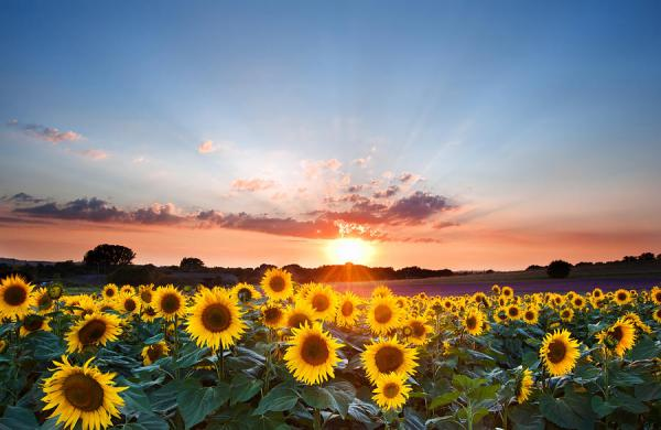 sunflower summer sunset landscape