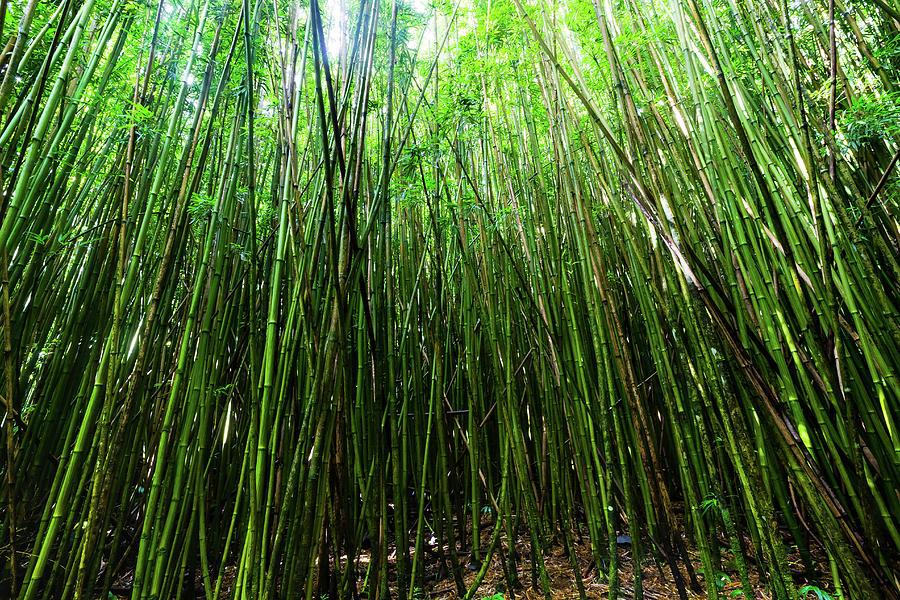 bamboo trees maui hawaii