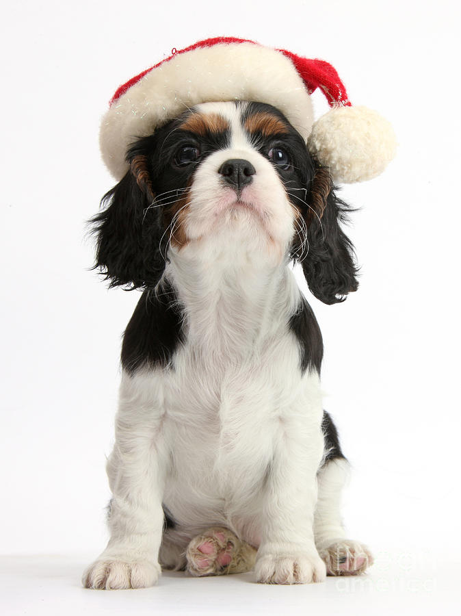 Cavalier King Charles Spaniel Puppy Photograph by Mark Taylor
