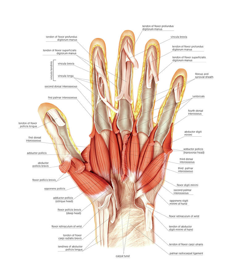 palmar hand muscle anatomy diagram marine fuse panel wiring muscles of the photograph by asklepios medical atlas
