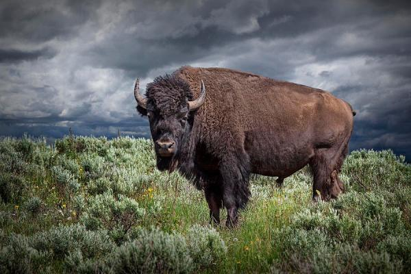 American Buffalo Or Bison In Yellowstone Photograph by