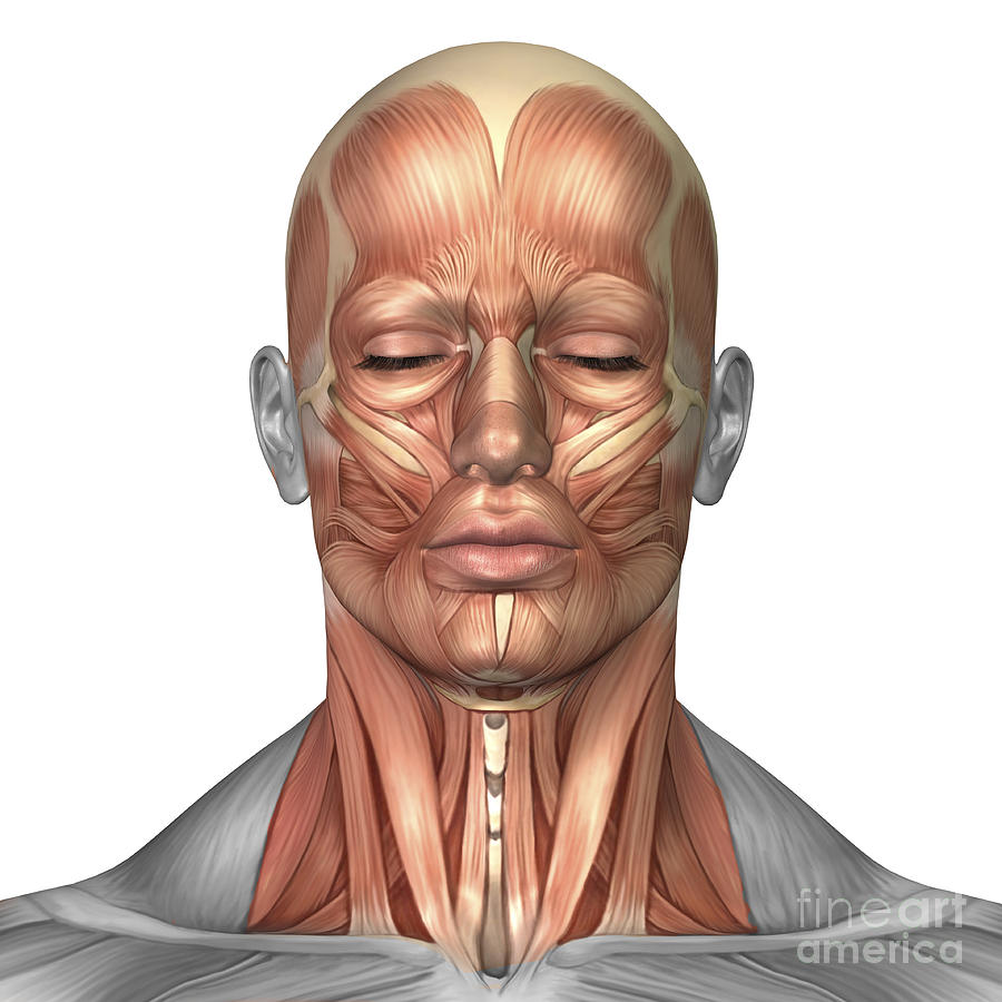 hight resolution of anatomy of human face and neck muscles