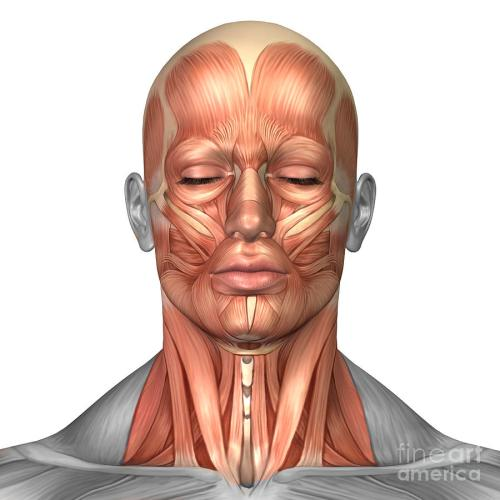 small resolution of anatomy of human face and neck muscles
