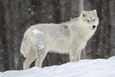 wolf arctic snow storm mcalpine robert photograph 26th uploaded july which