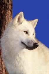 wolf arctic wolves portrait welling dave rescue wildlife photograph pure animals fanpop animali belli 15th uploaded october 2009 which lupus