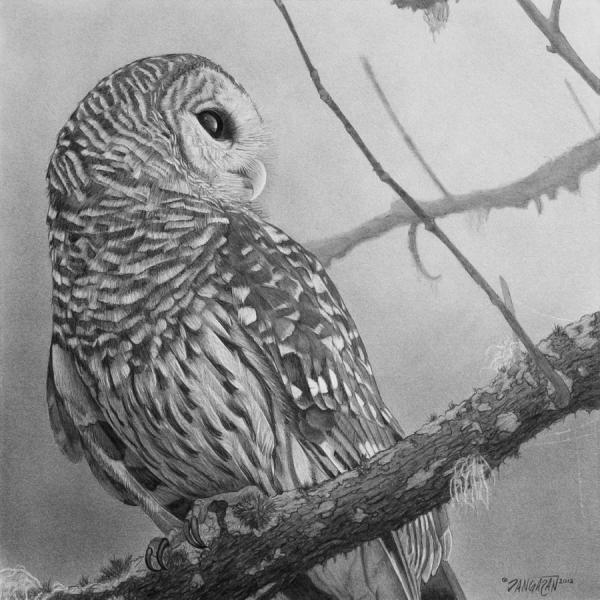 Barred Owl Drawing Tim Dangaran
