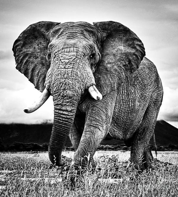 Beautiful Elephant Black And White 33 Boon Mee