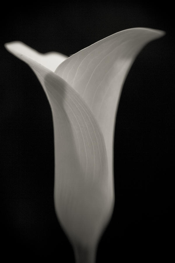 Black And White Calla Lily Photograph by Tammy Mellert