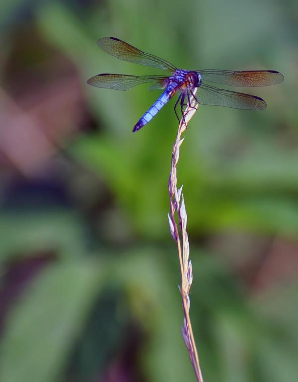 blue dragonfly blade of grass