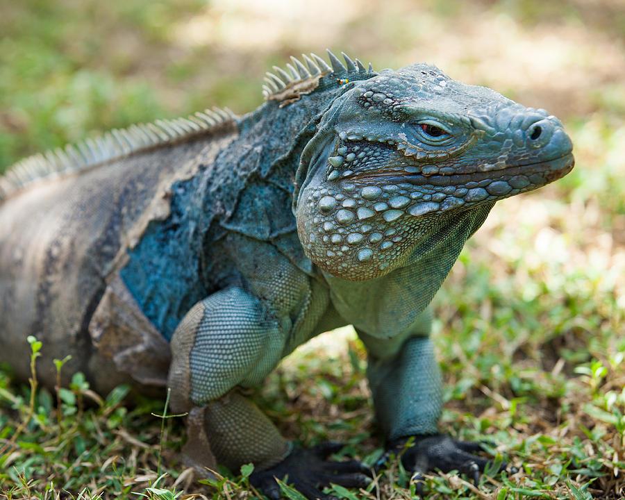 Blue Iguana Photograph by Michael Clubb