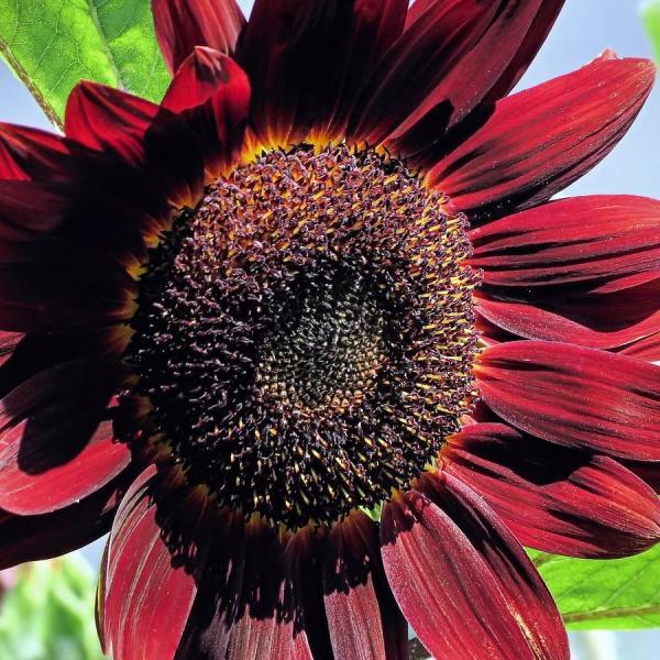 burgundy sunflower