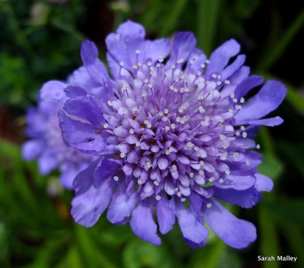 Pincushion Flower Bing images