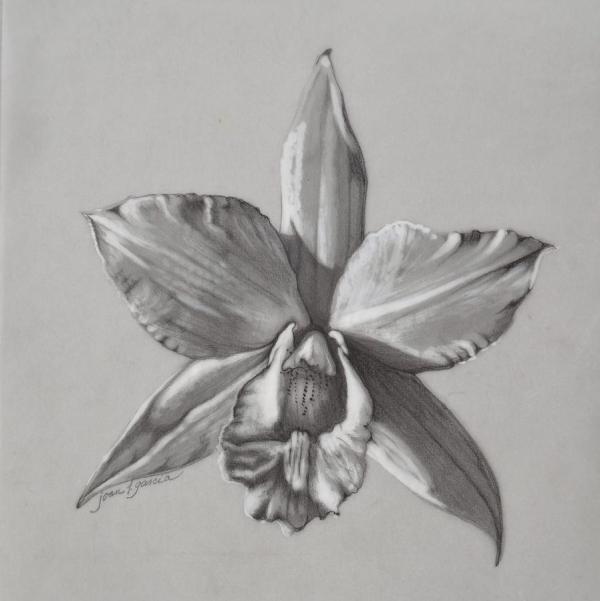 Cattleya Ii - Iwanagara Drawing Joan Garcia