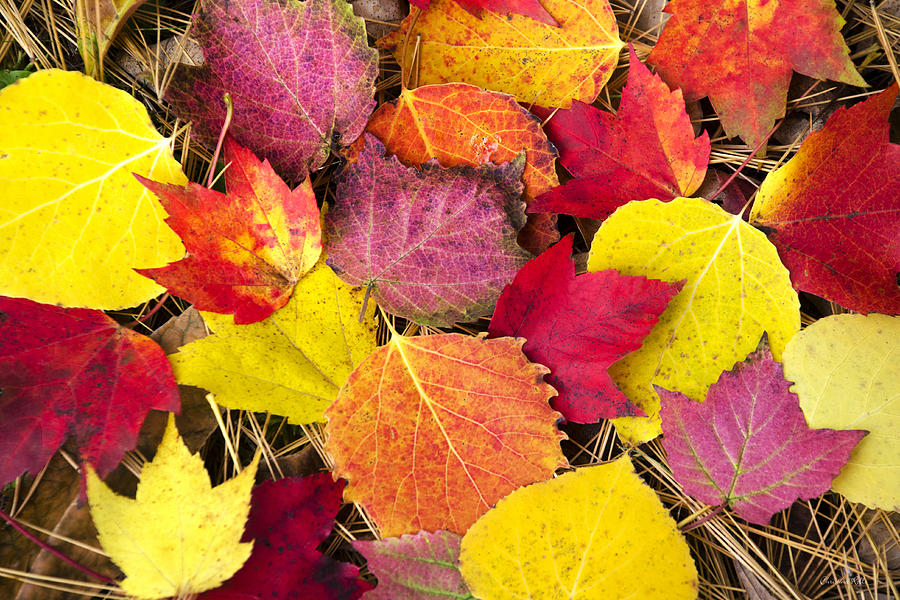 Colorful Autumn Leaves Art Prints for Sale