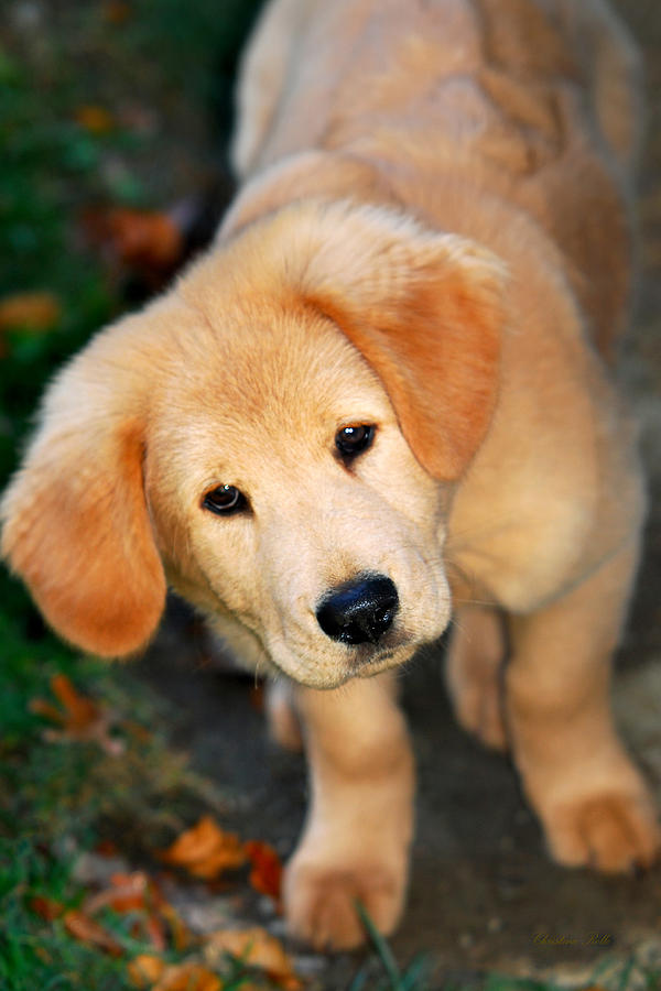 Curious Golden Retriever Pup Art Prints for Sale