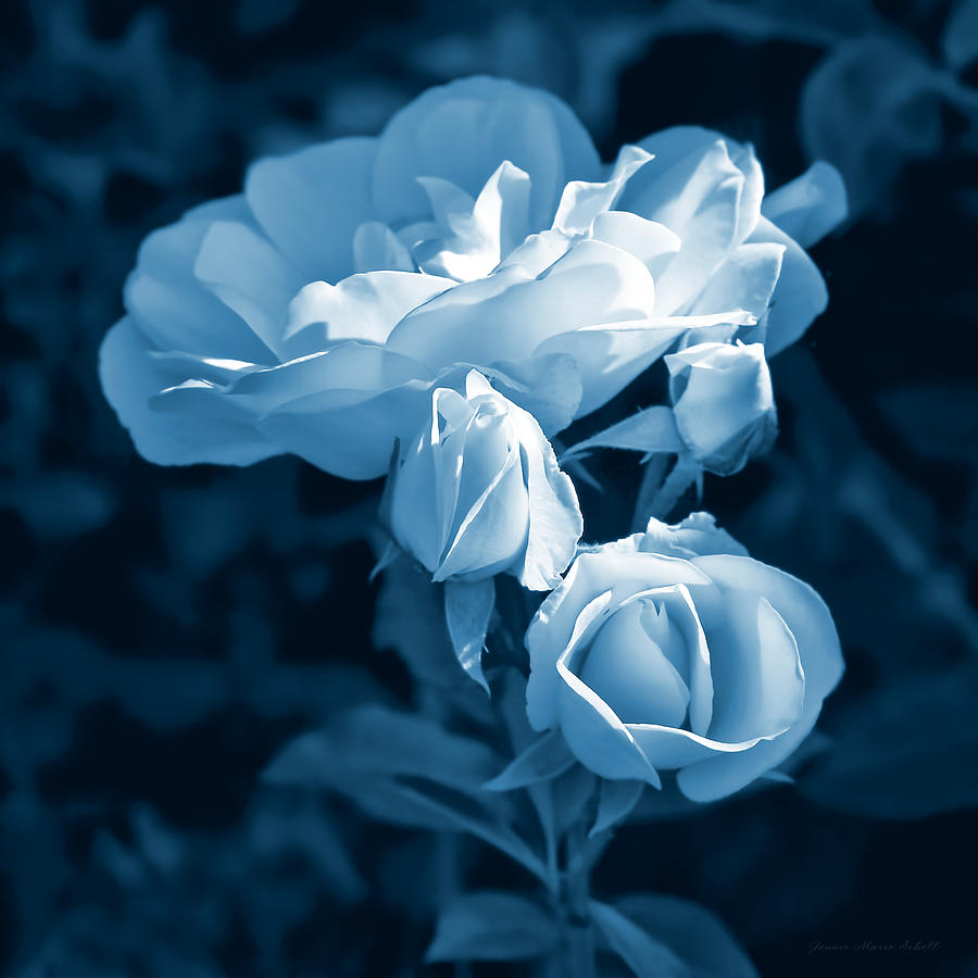 Evening Light Blue Roses In The Garden Photograph by