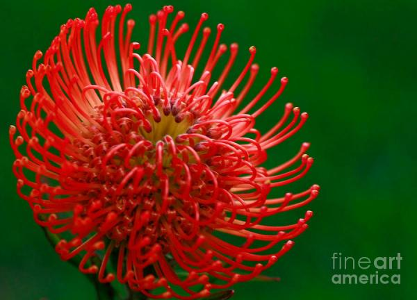 Exotic Pincushion Flower Photograph by Inspired Nature