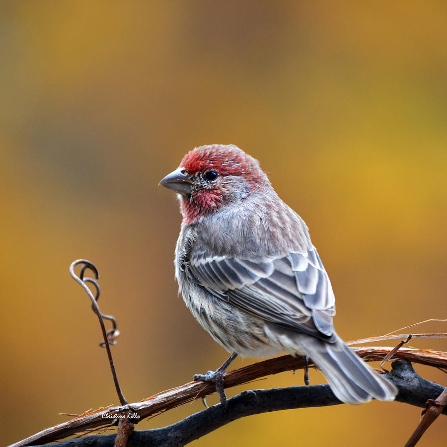 Fall Finch Square Art Prints for Sale