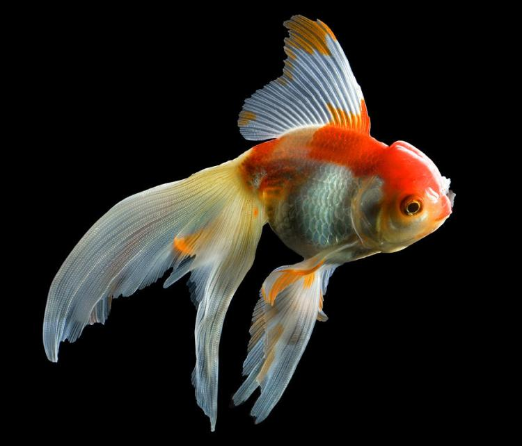 Image result for fantail goldfish