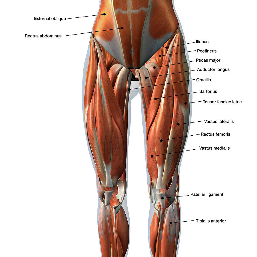 front leg ligament diagram u s federal state court female muscles with labels photograph by hank grebe