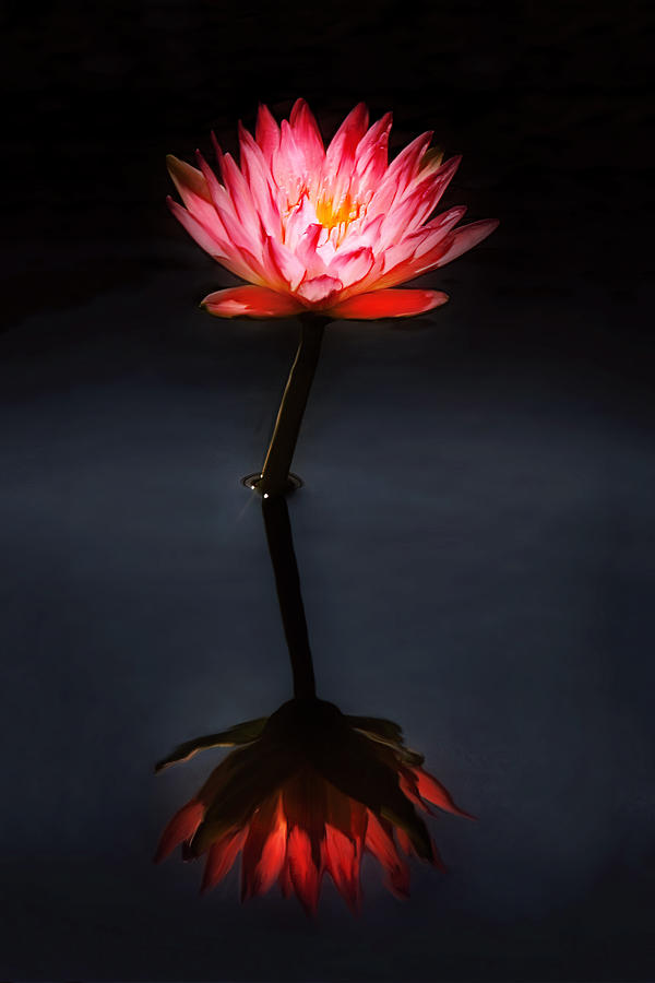 flower water lily nymphaea