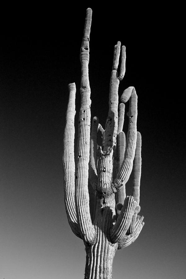 giant saguaro cactus portrait
