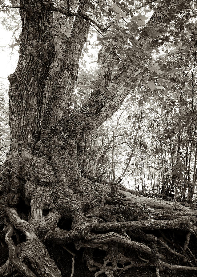 Gnarled Tree Photograph by Mary Lee Dereske