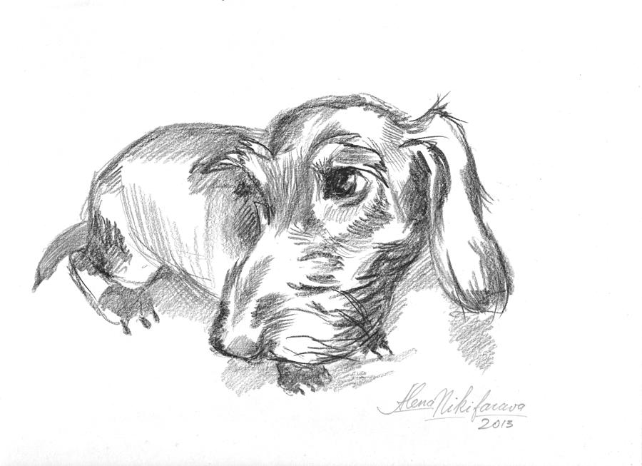 Guilty-looking Young Wire-haired Dachshund Drawing by