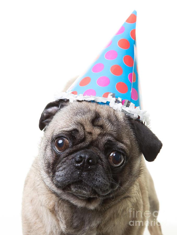 Happy Birthday Pug Card Photograph By Edward Fielding