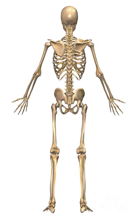 Human Skeletal System. Back View Digital Art by Stocktrek Images