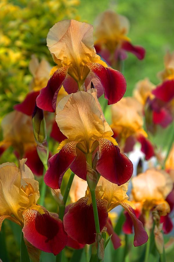 Iris family Photograph by Chris Lamb