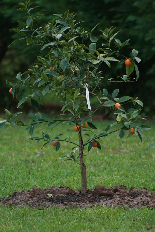 Kumquat Tree Photograph by Michelle Wienczorkowski