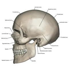 lateral view of human skull anatomy photograph by alayna guza skull anatomy diagram skull anatomy diagram [ 900 x 900 Pixel ]