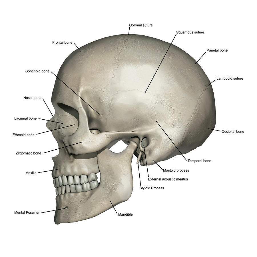 skull diagram unlabeled kicker subwoofer wiring diagrams human 11 kenmo lp de lateral view of anatomy photograph by alayna guza rh pixels com pdf