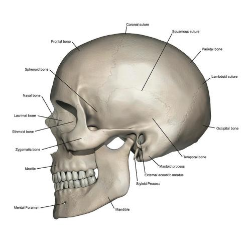 small resolution of lateral view of human skull anatomy photograph by alayna guza skull anatomy diagram skull anatomy diagram
