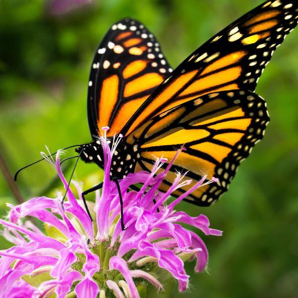 Monarch Butterfly Bee Balm Jim Hughes